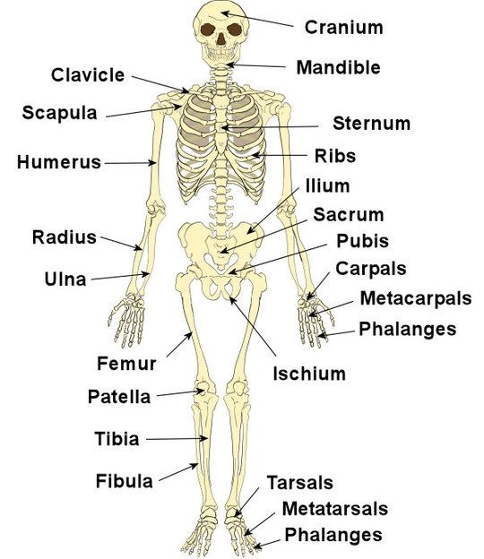 Skeletal System Human Body Systems
